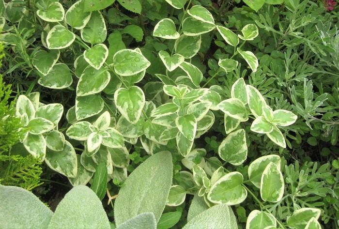 グランドカバープランツとは、文字通り、地面をカバーする植物のことをいいます。  草丈が低く、横に広がって育つ性質で植えっぱなしであまり手がかからない植物が多いことが特徴です。空いているスペースにそんな植物を植えておくと、雑草が生えにくくなりお庭を美しい状態で保つことができるうえ、管理が楽になります。