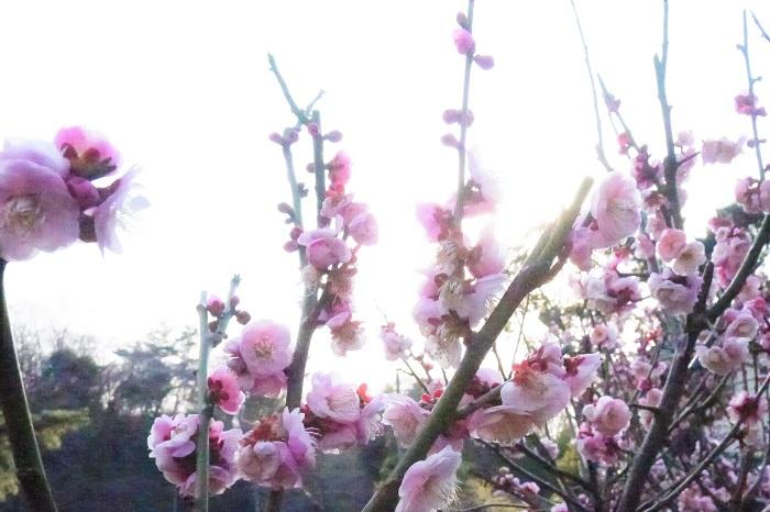 ふっくらと丸みを帯びたフォルムと淡いピンク色が可愛らしい梅の花です。