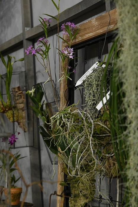 硬い質感のバルブを持つセイデンファデニア・ミトラタは花が無くても、吊せる多肉植物のようなおもむき。野に咲く花のような可憐な花と草姿のエピデンドラム・セントラデニウムはむき出しの根にも迫力がある。着生植物は吊すことで置き場を取らないというメリットがあります。同時に、視線が高い位置に誘導されることで上へ広がる空間を意識させ、結果的に部屋を広く感じられるようになるので、活用したいテクニックです。