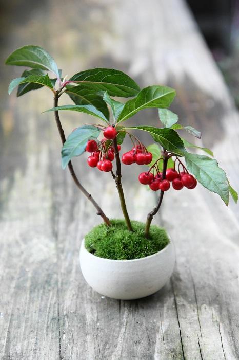 実ものの定番ヤブコウジを寄せた一鉢。  「千両、万両、百両などとならび、ヤブコウジは十両とも呼ばれる縁起のよい植物です。冬の寒い中で、ホッと心が温まるような赤い実を楽しめる盆栽です。」