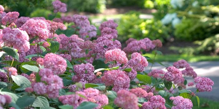 PWブランドには今春から、アジサイなどの低木(シュラブ)もたくさん仲間入り。お花から低木まで200品種以上がそろうようになり、PWの丈夫な植物をつかって、お庭をトータルで彩ることがきます。