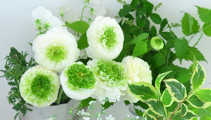 ラナンキュラス・ビアンコフェスティバルは、白系で中心がグリーンなさわやかな雰囲気の品種です。  この品種も個体差がとてもある品種で、白とグリーンの色の分量が花によって、まったく違います。グリーン系、白×グリーン系の色数を抑えたアレンジメントやブーケにおすすめ。