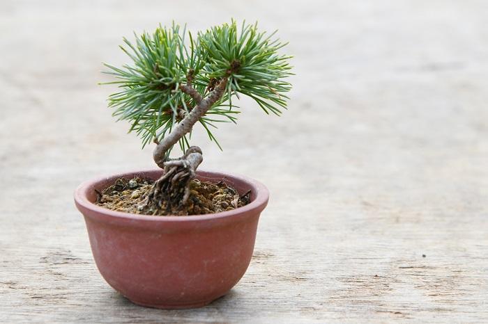 盆栽の中でも特に人気があるのが、松などの常緑の針葉樹の仲間。 そうしたグループを、盆栽では「松柏類」(しょうはくるい)と呼んでいます。 なかでもオススメなのがこの、ゴヨウマツ。 「松柏類の中でも、アカマツやクロマツなどは初夏に芽摘みという作業が必要です。 芽摘みは、枝の先から出る芽の数を減らすことで、新しく伸び出す枝の数を抑えるという作業です。 これを行わないと、枝が先へ先へとたくさん伸びてしまい、まとまりのない株姿になってしまいます。 しかしこの五葉松は、枝の先端から複数の芽が伸びないため、芽摘みをしなくてもそれなりの株姿になります。 松柏類は葉が無いところから新しい枝を出しにくい性質があるため、枝づくりには気をつかう樹種ですが、ゴヨウマツは芽摘みでの失敗をしにくい分手入れは楽なので、初心者の方にもおすすめです。」