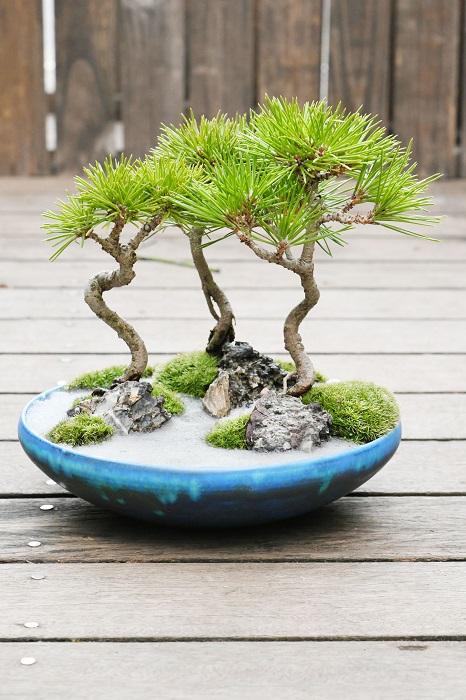 トルコブルーの平鉢にクロマツを寄せた景色盆栽、栽景。  「苔や砂、石を用い海岸の景色を楽しめる盆栽です。黒松は盆栽初級者から楽しめる盆栽の一つであります。 冬に主役となる盆栽なので春から秋にかけて育てるといったお世話が必要です。春は肥料を与え、初夏に芽切をし、秋には古い葉を取り除くなどの手入れで美しい状態を保てば、冬に万全の状態で観賞できますよ。」