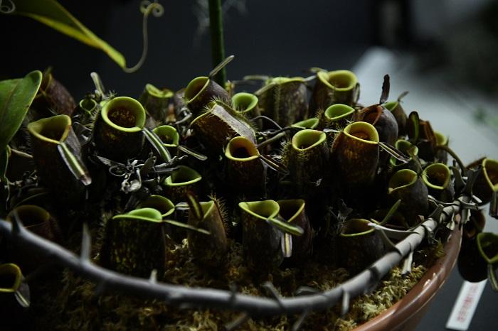 中でも人気の展示「食虫植物と神秘的な花々」で展示されている食虫植物もヒーローズさんの提供によるもの。見れば見るほど不思議な形をした食虫植物を、この機会に育て始めてみてはいかが?