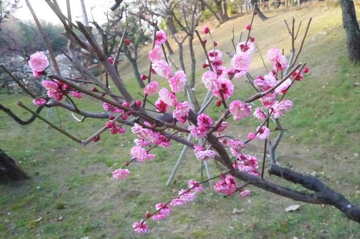 優しいピンク色の紅梅です。花びらの重なりのボリュームの多さが魅力です。