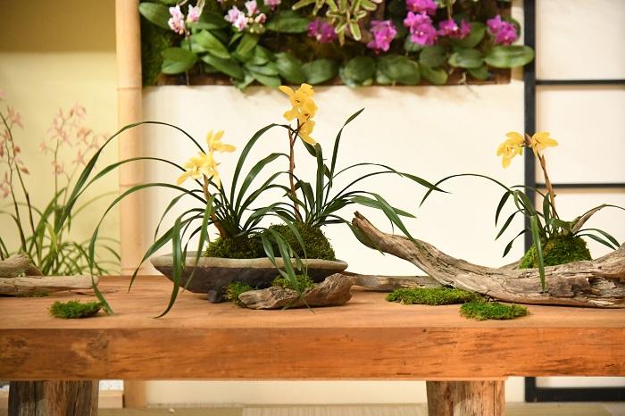 おもむきのある平皿に植え、根元に苔を持って盆栽仕立てに。あるいは根鉢を苔玉に仕立てて、流木に載せて。こうしたあしらいのアイデアは、すぐに暮らしの中で生かせそうです。