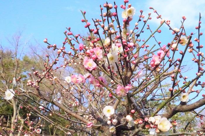 ■学名:Prunus mume  ■科、属名:バラ科サクラ属  ■分類:落葉高木  梅は中国原産の落葉高木です。初春のまだ緑も花も少ないお庭で香りの良い花を咲かせてくれます。まだ寒い季節に鼻先をかすめるようにふわりと梅の香りが流れてくると、春が近いことを実感します。  澁澤龍彦氏は自身の本の中で梅の花を「的皪(てきれき)」と表現しています。的皪(てきれき)とは白く光り輝く様子を表現する言葉です。初春の明るい太陽に照らされて、輝くように咲く梅の花を思い出してください。梅の花の美しさを表現するのに、これほど適切な言葉はないように思います。