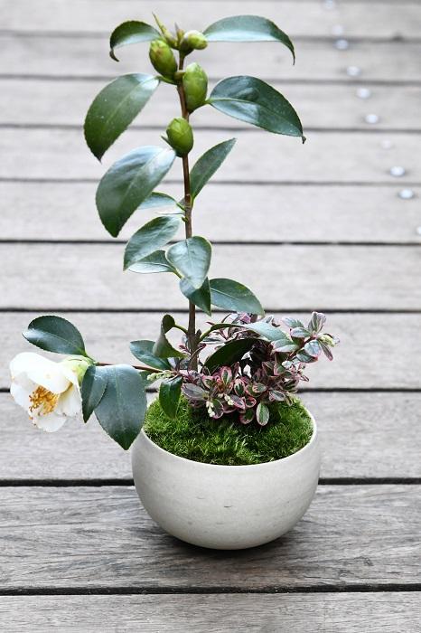 いずれも常緑樹なので、一年を通じて青々とした姿を楽しめる盆栽。  「ツバキ、斑入りコケモモともに、花と実を楽しめるものを選んで合わせたのがポイントです。」