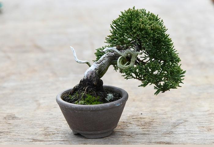真柏はイブキ、ビャクシンなどの仲間のヒノキ科の樹木です。 小さいものでもしっかり仕立てれば古木のような風格が出てきます。 また、ジンシャリと呼ばれる、枯れて白っぽくなった枝や幹の風合いを楽しめるのもシンパクならでは。 「盆栽は木がやたらに枝を伸ばさないように小さい鉢を使って、根の量を制限する育て方をします。 そのため、夏の暑い日などはあっという間に土が乾いて、枯らしてしまうことがあります。 しかしシンパクは、比較的乾燥にも強く、そうした失敗は減らせる樹種です。 いかにも盆栽といった風格のあるものを手に入れたい人に、おすすめです」    目次に戻る≫