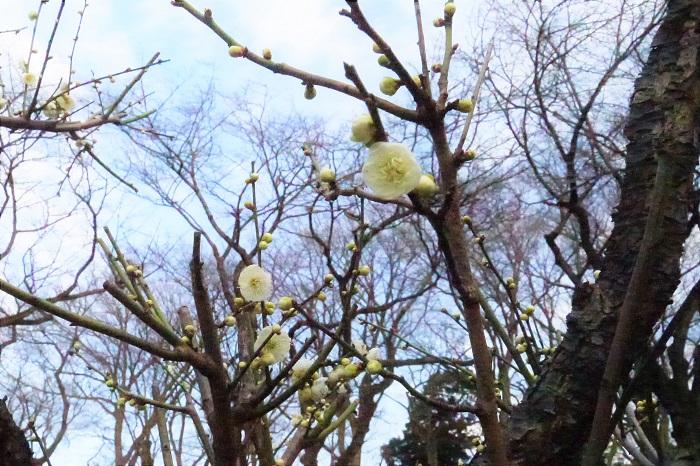 個人的に一番好きな白梅です。白梅の花は萼が赤いのでうっすらと赤味がかって見えるのですが、緑萼梅(りょくがくばい)は萼がグリーンなので花もすっきりとした白に見えます。