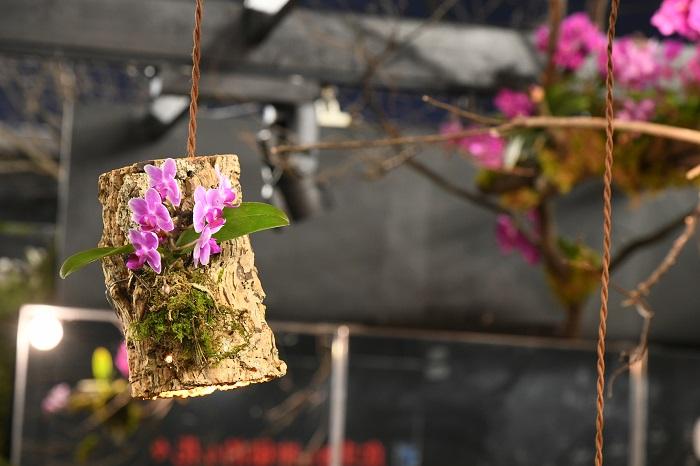 梁からラフに吊り下げられたコチョウラン。コチョウランは乾燥に強いところもあるので、こんな使い方もできます。