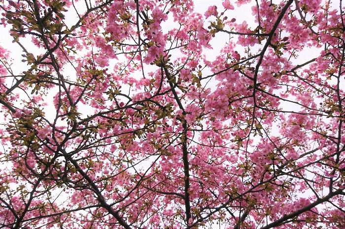 河津桜が咲いたらどう楽しみましょうか?まずはお散歩。それからお花見ですよね。静岡県の河津町や神奈川県の三浦など、河津桜の名所もあります。  最近は公園や街路樹でも河津桜を見かけることが増えました。意外と近くに河津桜は咲いているかもしれません。学校や会社の帰り道にいつもと違うルートを歩いてみたり、ちょっと注意深く近所を探してみませんか?意外と身近なところに咲いているかもしれません。  急に見つけても大丈夫です。河津桜は花期が長いので、次の休日まで待ってゆっくりお花見に行きましょう。 河津桜の咲く頃はまだまだ冷えますから、きちんと防寒をしてお出かけください。