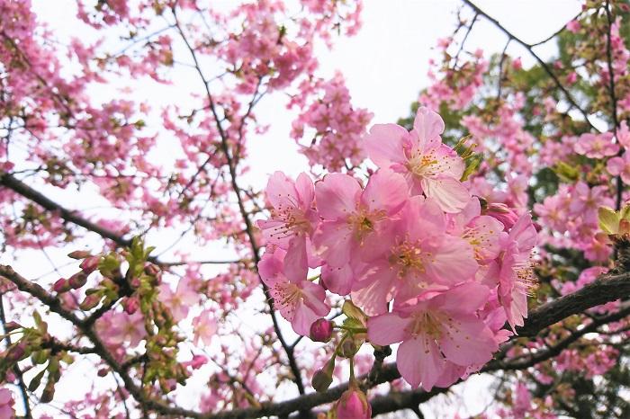 ■学名:Prunus lannesiana cv. Kawazu-zakura  ■科名:バラ科  ■分類:落葉高木  河津桜は数多くある桜の中の一種類です。梅の花が咲く頃に河津桜も開花します。オオシマサクラとカンヒサクラの交雑種ではないかと言われています。人間の手で作られた園芸品種ではなく、自然が作り出した偶然の産物です。  静岡県の河津町で発見されたのが名前の由来です。余談ですが、御殿場で発見された御殿場桜という品種もあります。