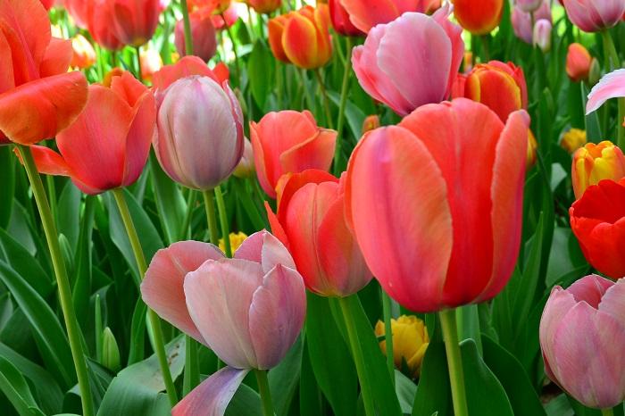 秋植え球根の中で、おそらく一番品種が豊富なのがチューリップではないでしょうか。国際的に登録されているチューリップの品種数は、数千品種に及び、毎年新しい品種が増えています。チューリップの花の色は皆さんも良くご存知の赤、白、黄色をはじめ、ピンク、紫、複色などさまざま。咲き方も、ユリ咲き、パーロット咲き、フリンジ咲き、八重咲きなどいろいろな咲き方があります。  これだけたくさんの品種があるチューリップは、品種によって系統があり、同じチューリップでも色々と違いがあります。その中で、植え付ける時に知っておいたほうがいいことは、それぞれのチューリップの品種の開花時期と花丈です。
