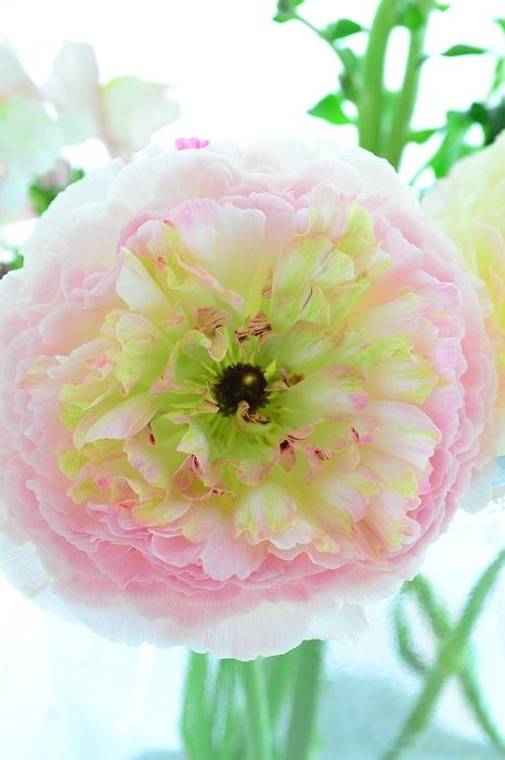ラナンキュラスはキンポウゲ科の春に咲く球根の花。庭でラナンキュラスを育てる場合は、秋~初冬に球根を植え付け、4月~5月に花が開花します。  切り花としてラナンキュラスが花屋さんに出回るのは12月~4月くらいまで。桜が開花するころの春らしい陽気になると、徐々に入荷量が減ってきます。  開花している状態で苗もの、鉢ものとして出回るラナンキュラスも1月~3月ごろ、実際の開花時期より早めに流通しています。  ラナンキュラスの魅力は、なんといても花びらの繊細さ。薄紙のような花びらが幾重にも重なりあい、つぼみの頃はゴルフボールくらいのサイズだった花が、満開時にはその3~4倍の野球ボール以上のサイズになる花姿は見事です。キュートでかわいらしいもの、シックなもの、花色や咲き方によって、様々な印象のある、春の人気の花ラナンキュラス。毎年のように新品種が登場するのも注目してしまう理由のひとつです。