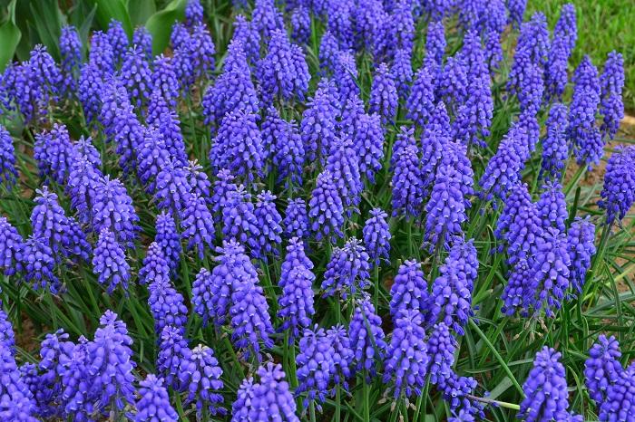ムスカリはコンパクトなサイズで大きくなっても草丈15cmほど。寒さに強くて庭に地植えをすると自然分球で増え、植えっぱなしOKなのでガーデニング初心者さんにもおすすめの球根の花です。小さな寄せ植えに使ってもかわいい素材ですが、広い空間にたくさんのムスカリを植え付けても見事な光景になります。
