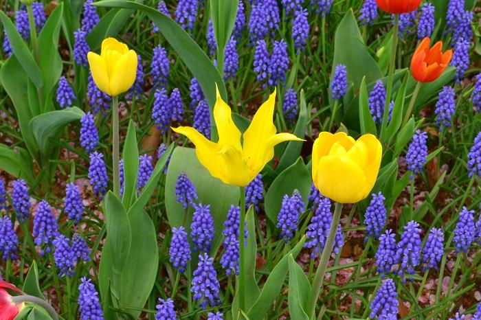 ムスカリはチューリップなどの同じ時期に咲く球根花との色のコントラストも美しく、チューリップの脇役として使われます。全国のチューリップの名所にはムスカリと一緒に植栽されている光景を見ることができます。