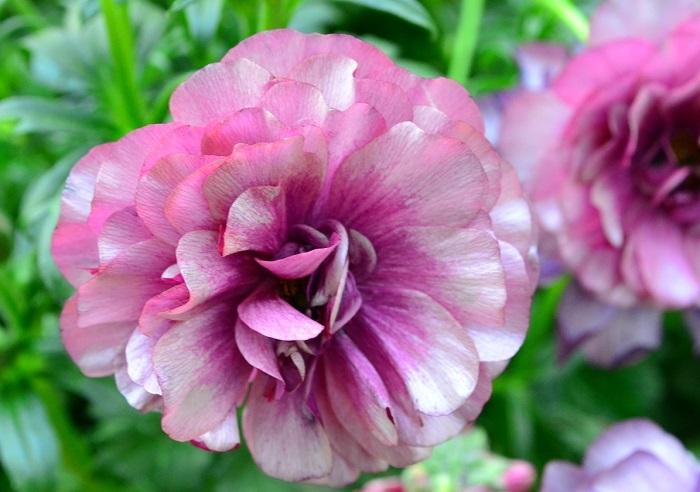 ラナンキュラスのラックスシリーズは、花びらがキラキラと光っているのが特徴です。咲き方がスプレー咲きなので、一輪でたくさんの花を楽しめます。  通常のラナンキュラスの球根は花の咲いた後に堀りあげるのが一般的ですが、ラックス系のラナンキュラスは植えっぱなしでも咲くので花壇におすすめ。背丈も高いので庭で目を引く存在です。