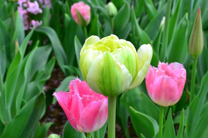 チューリップの置き場所 チューリップの球根は、日当たりが良く、風通しのよい場所に植え付けます。チューリップの生長には寒さと日光、適切な水分が必要です。ただし、鉢植えのチューリップは、つぼみに色が出てきたら日当たりの良い場所から半日くらい日が当たる場所に場所を移動すると、若干ですが開花期間を伸ばすことができます