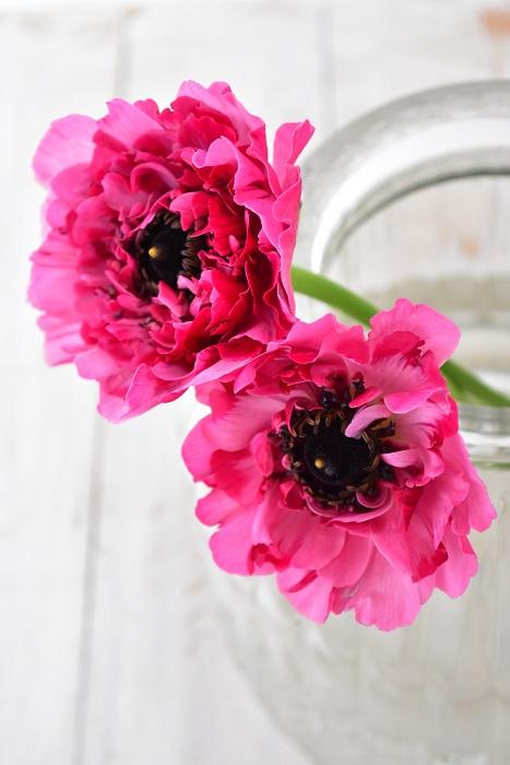 アネモネ咲きと表現される、ラナンキュラス・シャルロット。  ピンク系を中心にオレンジ系もあります。花びらの雰囲気がとても素敵なラナンキュラスです。