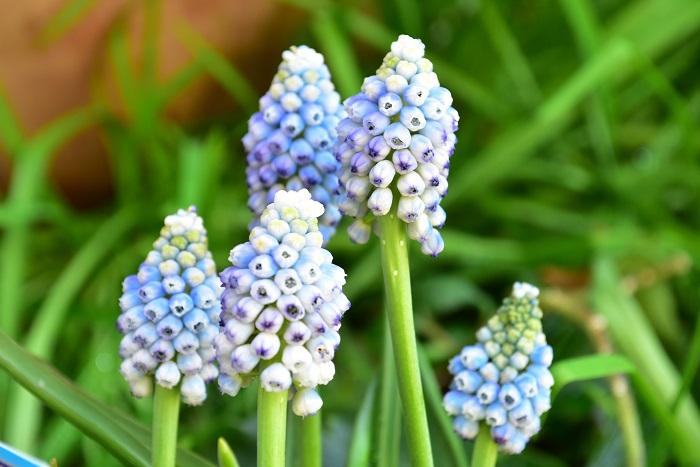 ムスカリ・オーシャンマジック  淡いブルーと白の複色カラーのムスカリ。