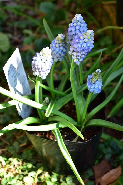 ムスカリは、1月~3月になると芽出し球根として、芽が出た状態でポット苗としても出回ります。  開花しているものや、芽の中に花芽も見えるくらいのものが多いので、球根から植えるのはハードルが高い・・・という方におすすめ。あとは水やりさえ適切にすれば、花を咲かせることができます。芽出し球根の苗の出回り期間は1月~3月の気温の低い時期なので、それぞれの花の花保ちがよいのも利点です。