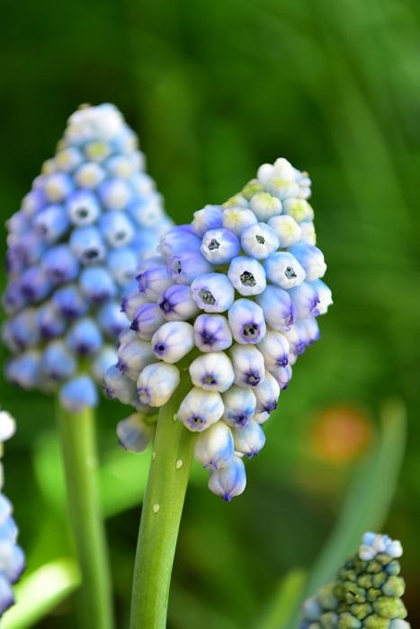 花の一つに注目してみると、開花前と開いておしべが見えてくる頃とでは、色あいが変わってくるようです。開く前の花の縁どりがきれいです。
