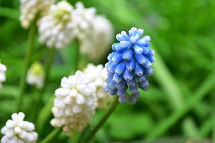 ムスカリは3~5月中旬に花を咲かせます。花が咲き終わると種ができはじめます。種ができる前に花をカットすると、球根が生長する方に栄養が回り、充実した球根に生長します。終わった花茎は株元からカットしましょう。