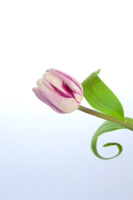 一部では「チューリップの水栽培は難しい・・・」とも言われていますが、ちょっとしたひと手間を加えれば、チューリップも簡単に水栽培ができるようになります!  また春咲きの球根であれば、チューリップ以外の花もこの方法で水栽培出来ますので、お試しください。