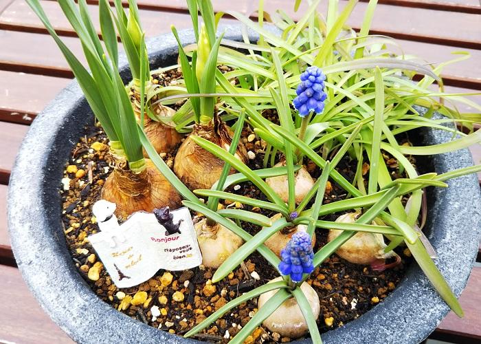 植え付けから2週間後の様子です。ムスカリの茎が伸び、青紫色の花が咲き始めました。スイセンの蕾もふくらみ始めています。これからどんどん様子が変化するのがとても楽しみです。  置く場所 屋外の日なたに置きます。  肥料 肥料入り培養土を使うので、それほど必要ありません。開花後に緩効性肥料の置き肥を施しておくと良いでしょう。  水やり 土の表面が乾いたら根元からたっぷりお水をあげましょう。