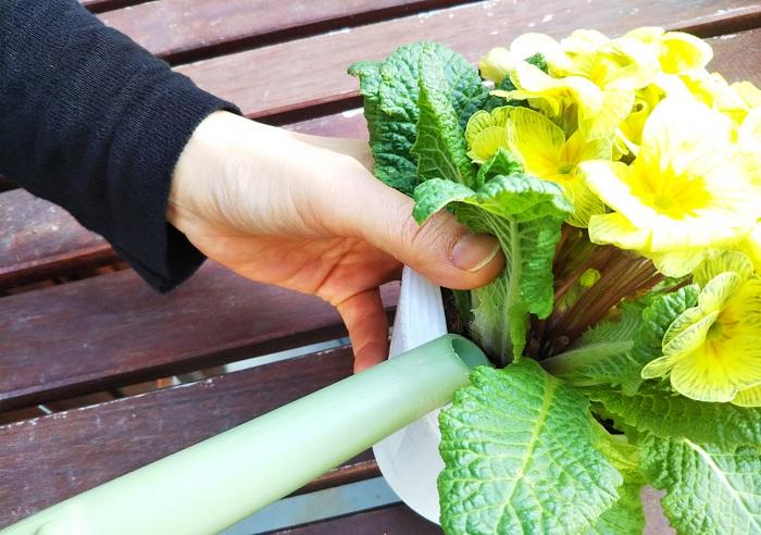 表面の土が乾いたらたっぷりお水をあげます。どちらかというと水切れしやすい植物なので、日々状態をよく見て育てましょう。  水をあげる時は、花や葉に水がかからないように、根元にしっかりあげます。