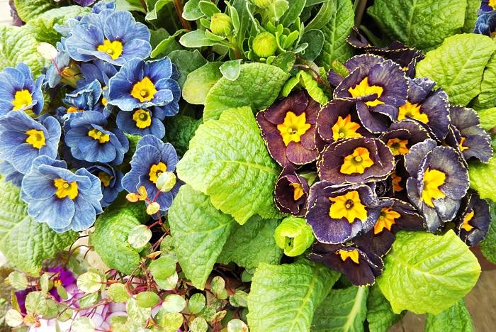 アンティークカラーのプリムラを使って寄せ植えやリースを作ったり、庭植えとして同色でコーディネートして楽しんでもいいですね。