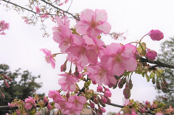 河津桜の魅力は、その開花時期の早さと花色ではないでしょうか。ソメイヨシノの淡いピンクに比べて、はっきりとした明るいピンク色。でも決してビビットではない春らしいピンク色は、見ている人にこれから来る春を期待させるような色です。さらに蕾はもっと濃く鮮やかなピンクで、まるでベリーのようで魅力的です。