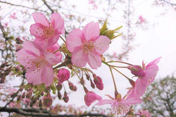河津桜はソメイヨシノと同じように花の後から葉が出てきます。山桜の種類などは花と葉が同時に出てきます。花が先なので、木全体が花で覆われたようにピンクに染まって見えます。  開花時期は先ほどもお伝えしたように2月中旬から3月中旬。早春の色の少ない景色に鮮やかなピンク色の花を見せる姿が圧巻です。  他にも河津桜は花期が長いのが特徴です。ソメイヨシノの花びらは雨や風ですぐに散ってしまいます。八分咲きになったかと思うと春風で花びらが待っていく、その儚さがソメイヨシノの魅力でもあります。  河津桜は開花中に雨が降っても強風の日があっても、翌朝には花が無くなっているというようなことはあまりありません。  オオシマサクラなど香りの良い桜もありますが、残念ながら河津桜は香りがありません。さらに河津桜の果実は食用にはなりません。なったとしても街路樹の果実はやたらと食べてはいけません。