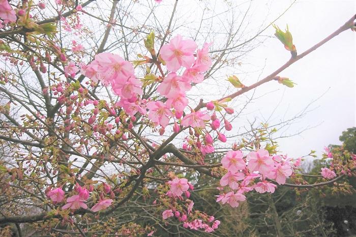河津桜っていつ頃から咲き始めるのでしょうか。毎年気が付いたら咲いていた、という方も多いのではないでしょうか。次回のお花見に失敗しないためにも、河津桜の開花時期をおさらいしましょう。  河津桜の開花時期は2月中旬~3月中旬です。開花期間は一ヶ月ほどです。公園や街路樹でよく見かけるソメイヨシノのあっという間に散ってしまう短さに比べたら、一ヶ月も咲き続けるなんて驚きです。