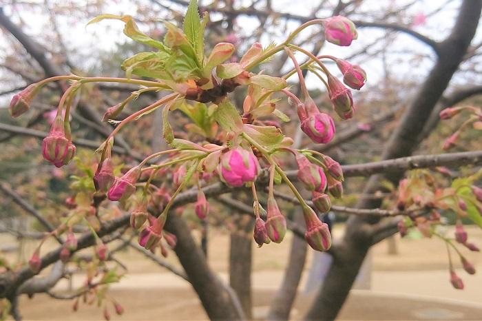 さらに蕾はもっと濃く鮮やかなピンクで、まるでベリーのようで魅力的です。