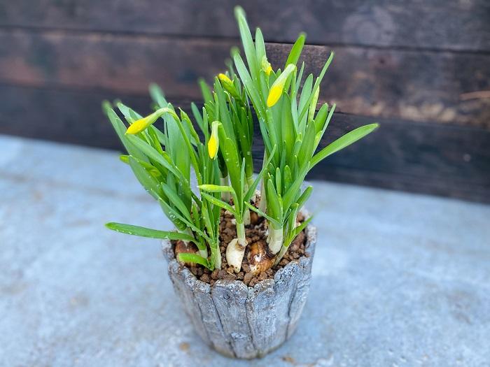 3月初めには、葉がたくさん増えて黄色い蕾もふくらんできました。もうすぐ鉢いっぱいに豪華にスイセンの花が咲きそうです。