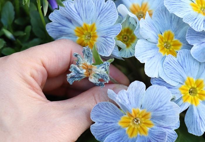 花が終わったら、手かはさみで根元から切り取ります。