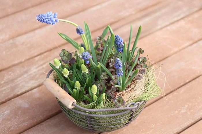 これは、2色のムスカリとセダムの寄せ植えです。ムスカリの花が終わった後は、セダムを明るい日陰でそのまま育てます。秋になるとまたムスカリの芽が出てくる楽しさがたまりません。