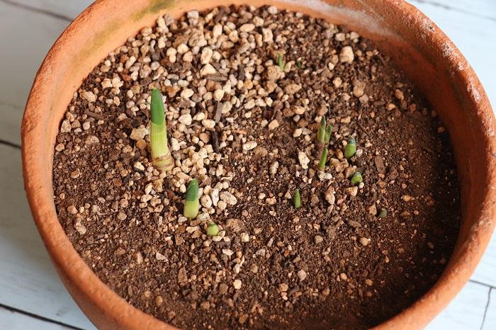 これは、スイセンを植えっぱなしにした鉢です。オフシーズンは半日陰の軒下に特に何もせず置いています。気付くと芽が出ている感じです。スイセンは本当に強くて頼もしいです。