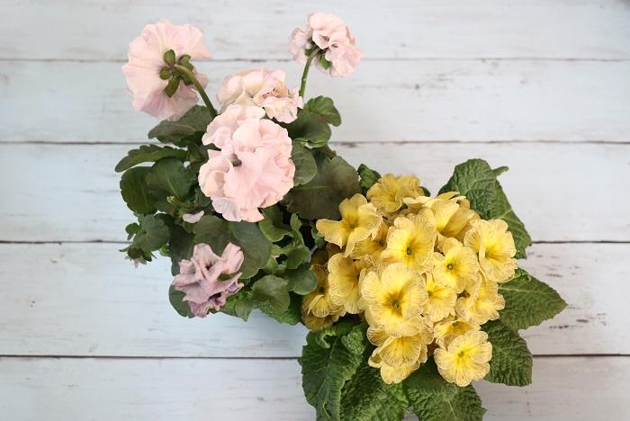 アンティークカラーのプリムラは、他の花とも合わせやすいです。フリフリのパンジーとの相性も良いですよ。