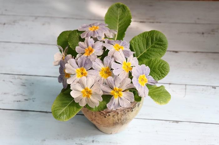 1ポットずつ鉢に植え替えて、大切に育てるととっても愛着がわきます。屋外が好きな植物ですが、たまには室内の窓辺や明るい場所に連れてきて愛でるのもいいですね。