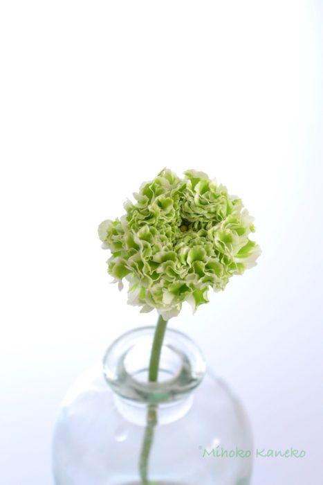 ラナンキュラス・シレンテ  白とグリーンの色合いが見事なポンポンシリーズのラナンキュラスです。
