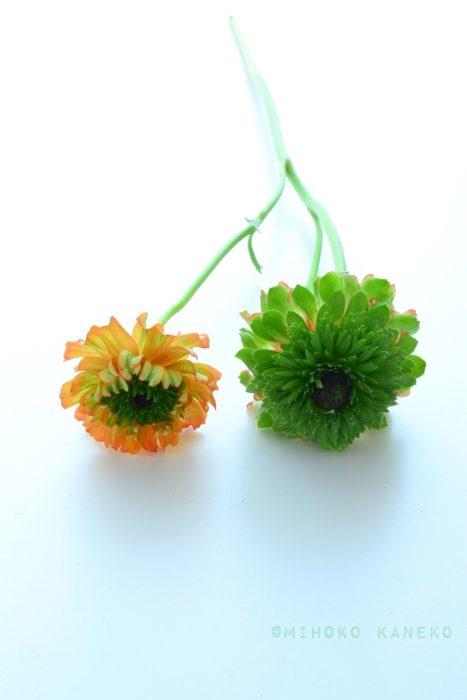 1本でまったく違う色が咲いています。レアものラナンキュラス。