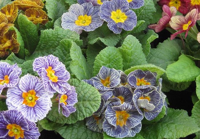 同じストライプ柄や同じシャビータイプでも、一つ一つ苗ごとに色や形の微妙な個性の違いがあり、どれを選ぶかわくわくしてしまいます。