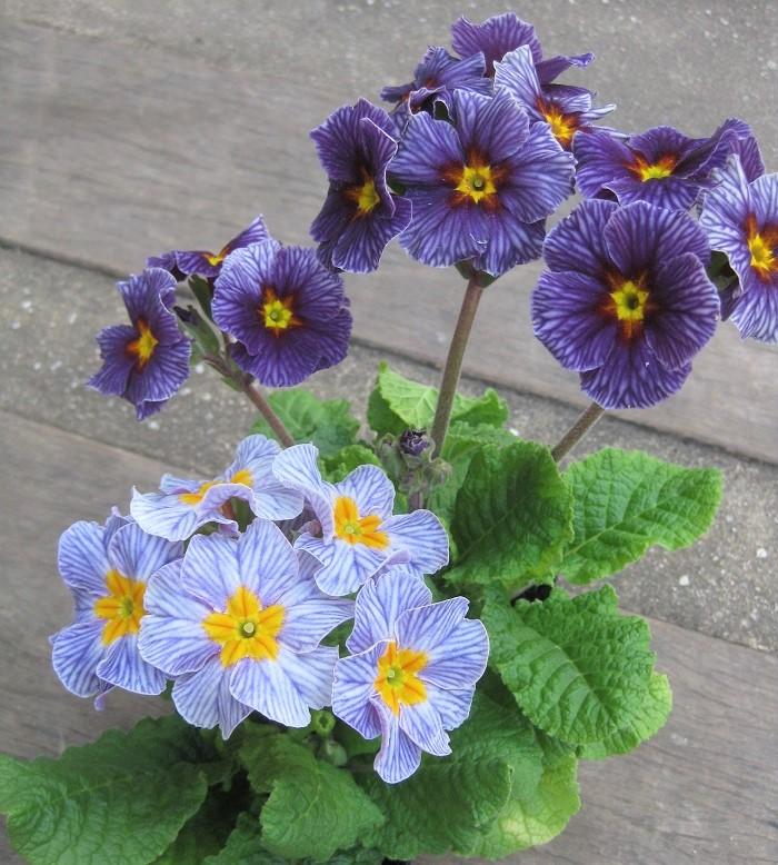 今回紹介するアンティークカラーのプリムラは、プリムラ・ジュリアンや、プリムラ・ポリアンサのアンティークカラーです。ジュリアンもポリアンサも花色や花の形が豊富ですが、ジュリアンは、ポリアンサに比べコンパクトで、ポリアンサの方が花が大きく、花弁に厚みがあります。最近は、ジュリアンとポリアンサの中間種が増えているそうです。  同じストライプタイプのプリムラでも、この写真のように、茎が長く立つタイプのものと、コンパクトに咲くタイプが混ざっていたりするので面白いです。