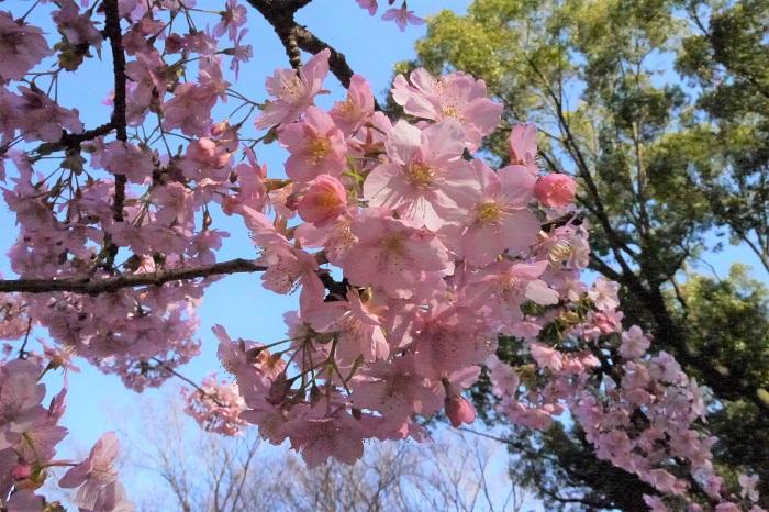 河津桜の香りを知っていますか。河津桜の花の香りを知っているという人は少ないと思います。それもそのはず、河津桜には残念ながら香りはありません。  よくお香やフレグランス商品で桜の香りというものを見かけますが、厳密にはそこまではっきりとした香りを持つ桜の花はあまりありません。桜のなかでもオオシマザクラは花に芳香があります。オオシマザクラの下でお花見をしていると、ふわっと香りが漂ってくることがあります。  河津桜に香りがあったらどんなに素敵だろうと思いますが、香りがなくても早春にこれだけの花を咲かせてくれるのですから、多くを望むのは贅沢かもしれません。