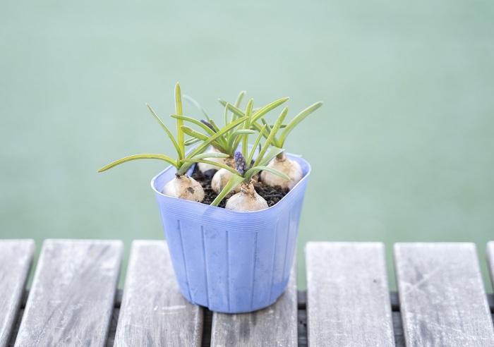この苗を選んだ理由 寒さに強く、春に近づくと青紫色の花が小さいブドウの房のように咲きます。花は5月頃まで楽しめます。草丈は20㎝くらいになることをイメージして選びました。栽培が容易で手がかからず、植えっぱなしで自然に分球して増え、毎年よく咲きます。  育て方のコツ 日なたと水はけのよい用土を好みます。水やりは土の表面が乾いたらたっぷりとあげましょう。