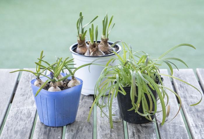 芽出し球根とは、花芽を出した状態の球根のことで、ポット苗として店頭に並んでいます。芽出し球根は花芽が出る状態までしっかりと育てられているので、球根から植えるよりも確実に咲かせることができる安心感があります。また、普通より早い寒い時から開花させていて、咲き始めてから花を長期間楽しめるメリットがあります。